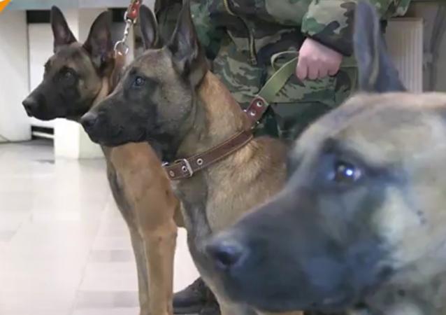 Trois bergers belges clonés sont arrivés en Russie