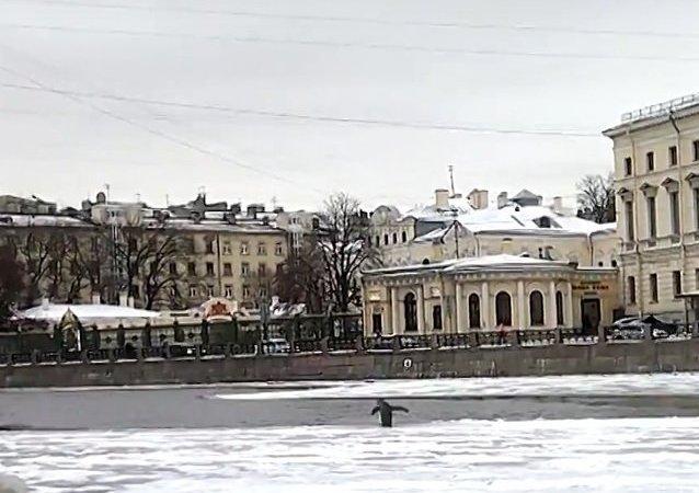 Un mystérieux manchot débarque à Saint-Pétersbourg