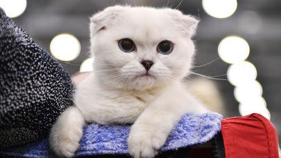 Les plus beaux chats de Russie