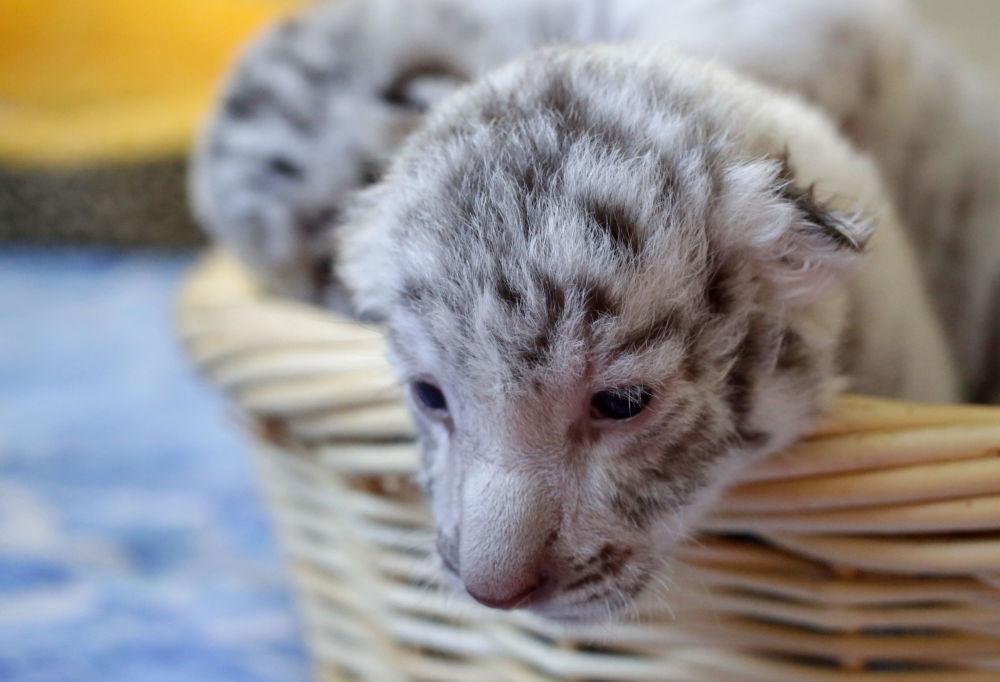 L'un des trois petits tigres blancs nés dans le zoo «Skazka» à Yalta