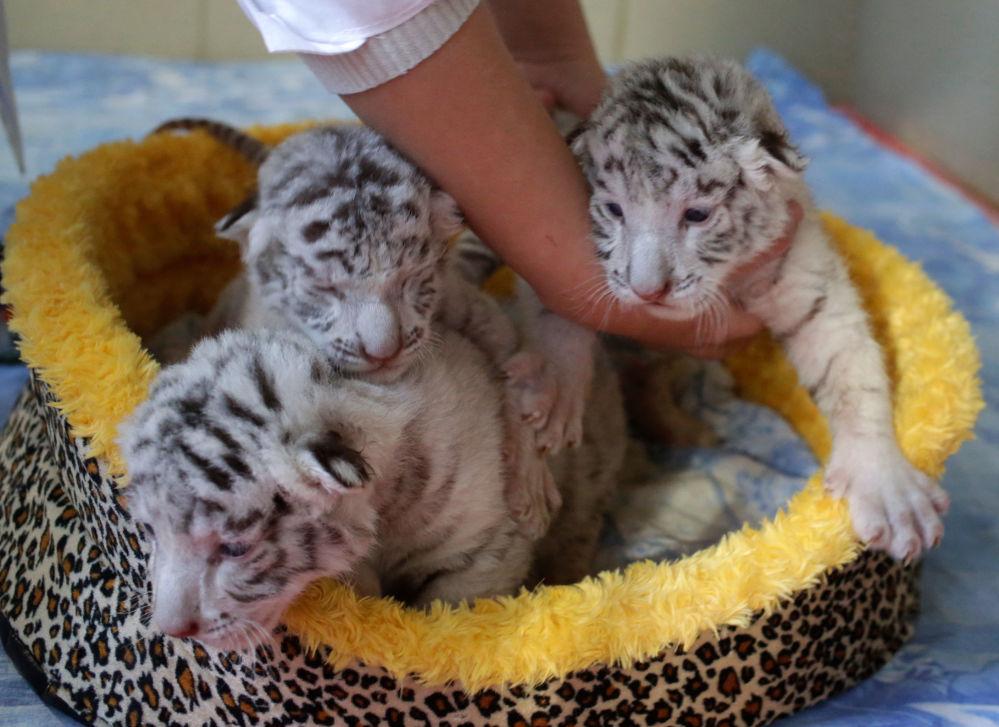 Une employée du zoo «Skazka» avec les petits tigres