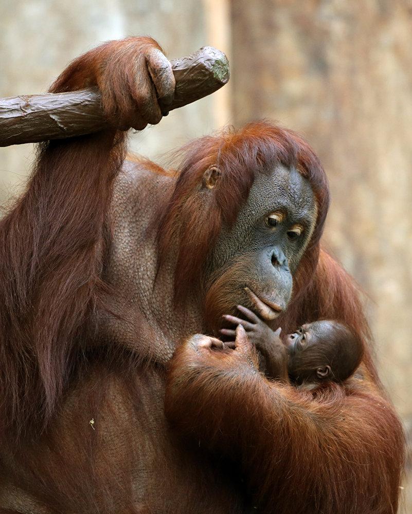 Ce bébé orang-outang est né le 4 décembre dans le zoo de Krefeld, en Allemagne
