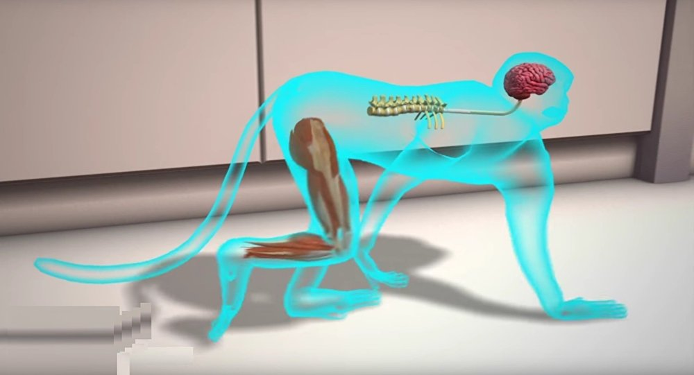 Grâce à des scientifiques, ce singe paralysé s'est remis à marcher