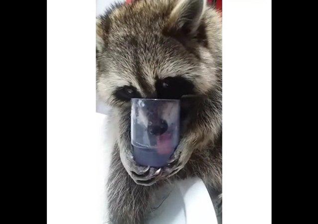 Ce raton-laveur  boit de l'eau comme un humain