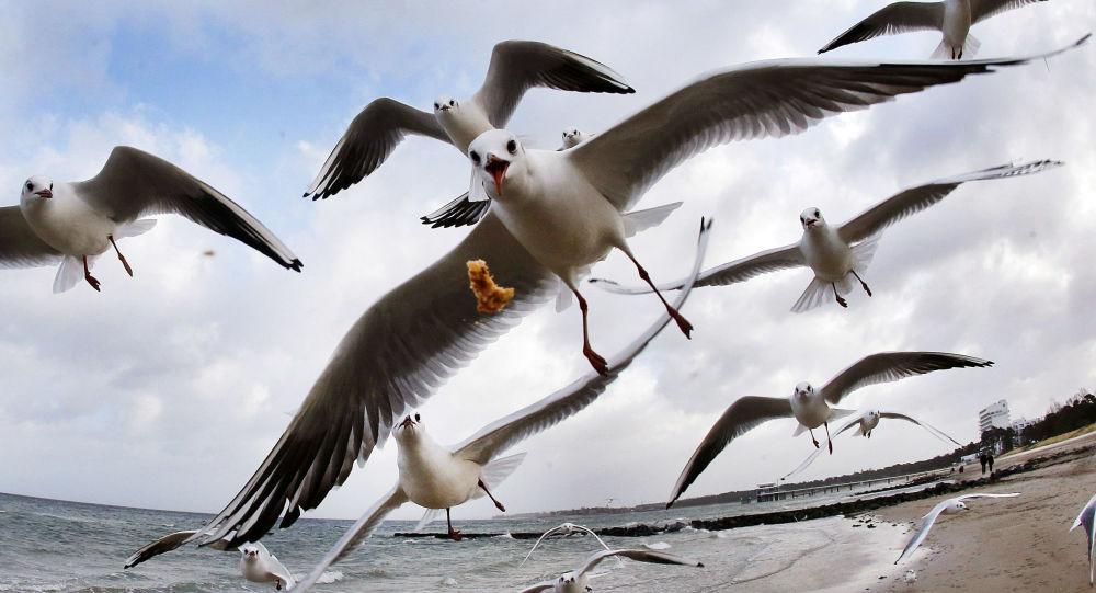 Чайки на Балтийском море, Германия