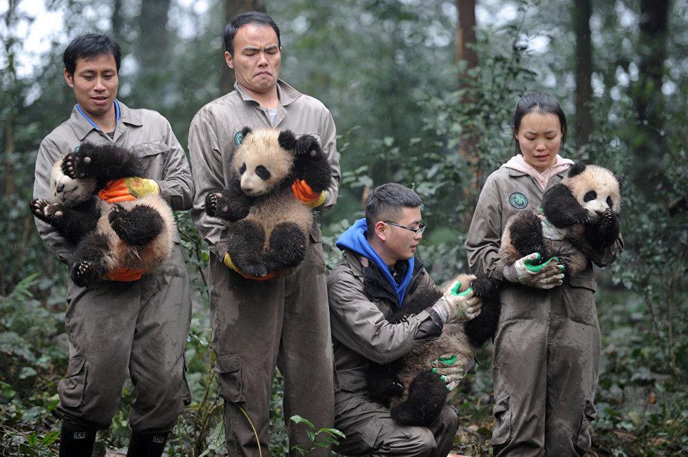 Huit bébés pandas qui sont récemment nés au centre pour la protection et l'étude de ces animaux dans  la ville de Ya'an (sud-ouest de la Chine) ont fêté le Nouvel An