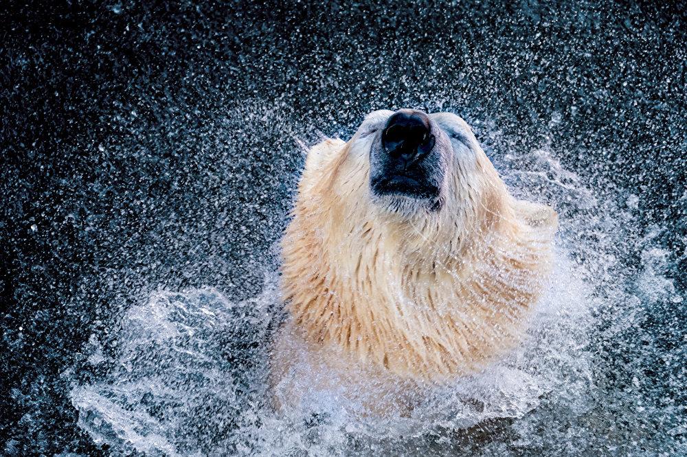 Un ours polaire dans le zoo de Hanovre, en Allemagne
