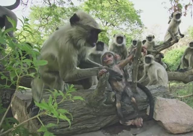 Les singes pleurent le décès d'un petit robot