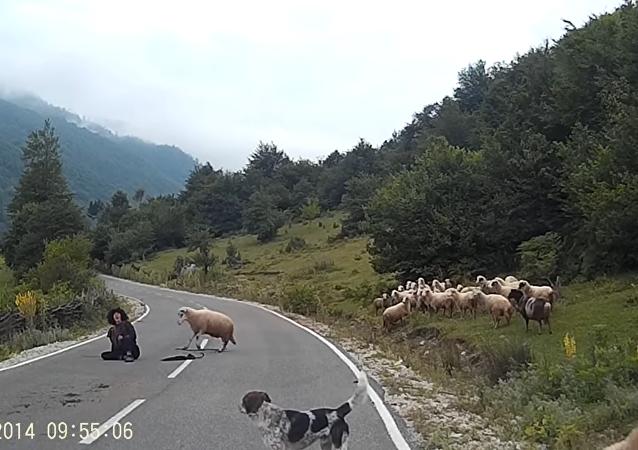 Une bergère attaquée par un mouton