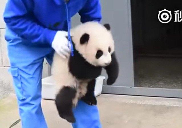 Comment soigner un panda