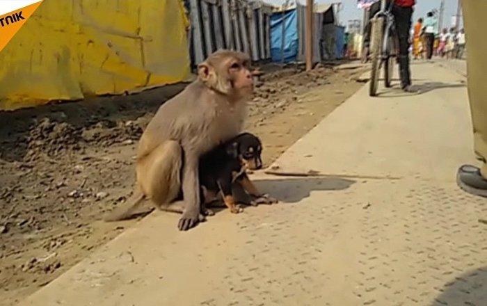 Un singe élève un chiot errant