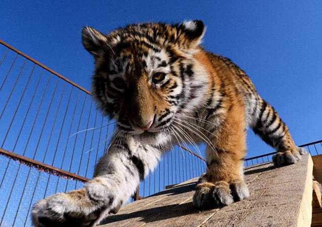 Un jeune tigre de l'Amour