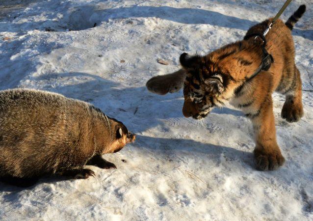 Tigre et grisard