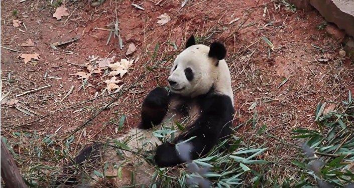 Le panda géant Cobi, mascotte des Jeux olympiques de Barcelone en 1992