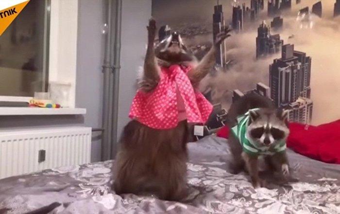 Fury et Funny, deux ratons domestiques