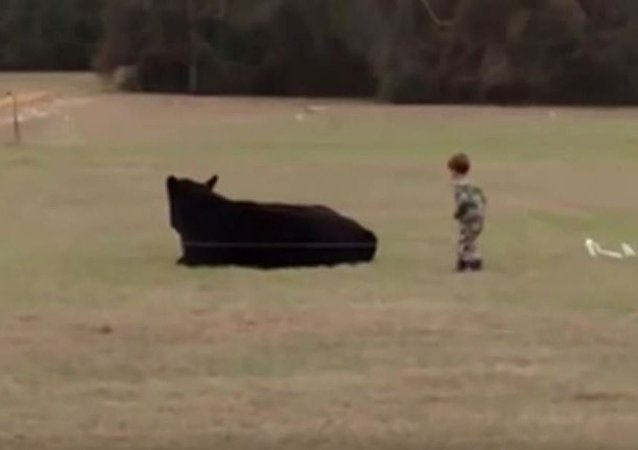Cet enfant gagne un pari à 20 USD, en sautant sur le dos d'un bœuf