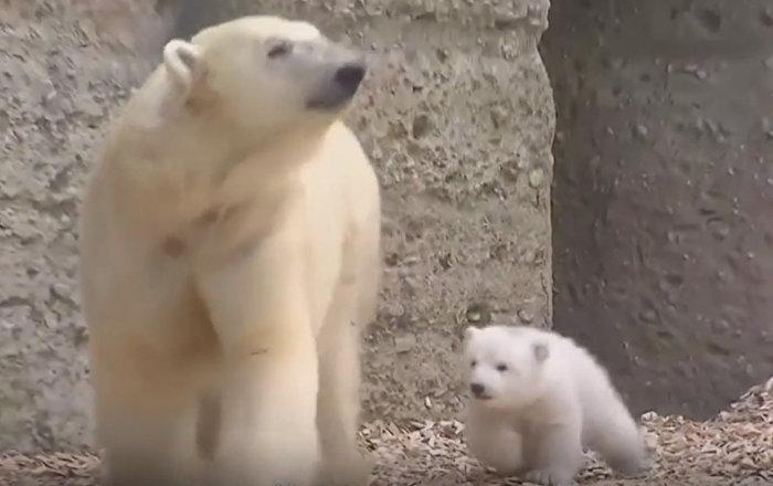 La première promenade d'un petit ourson