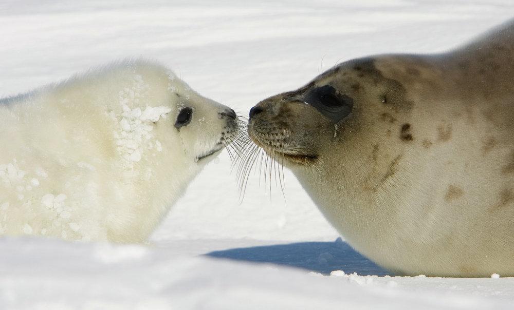 Un phoque du Groenland et sa mère