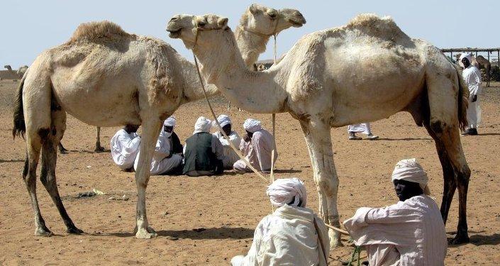 Des chameaux