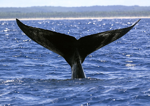 Rencontre inattendue avec quatre baleines à bosse