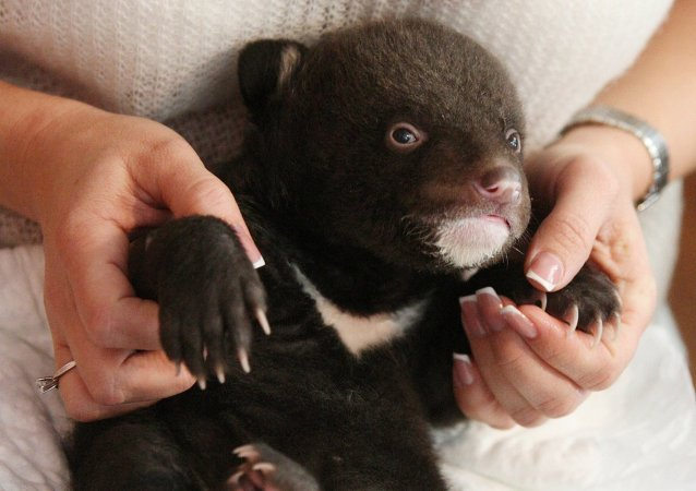 Un ourson noir d'Asie