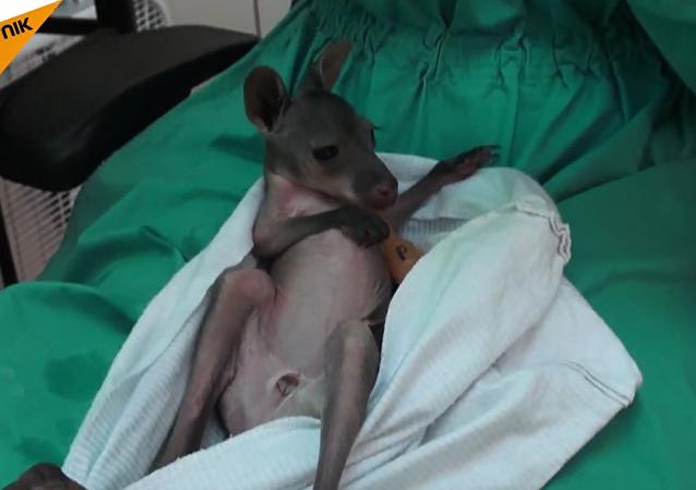 Un wallaroo (kangourou des montagnes)