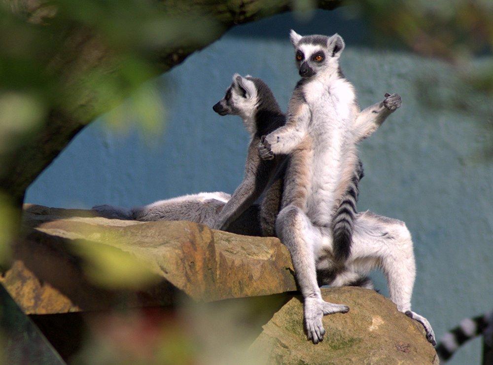 Les lémur catta vivent en sociétés matriarcales d'une vingtaine d'individus.