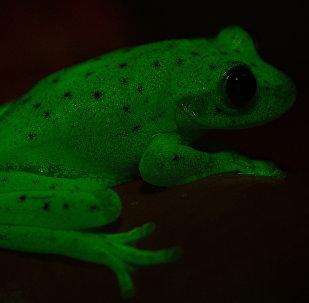 Ranas fluorescentes encontradas en América del Sur