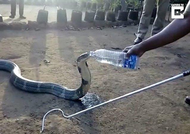 Un cobra royal assoiffé boit à la bouteille
