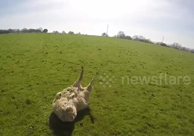 Un cycliste-héros aide un mouton en détresse