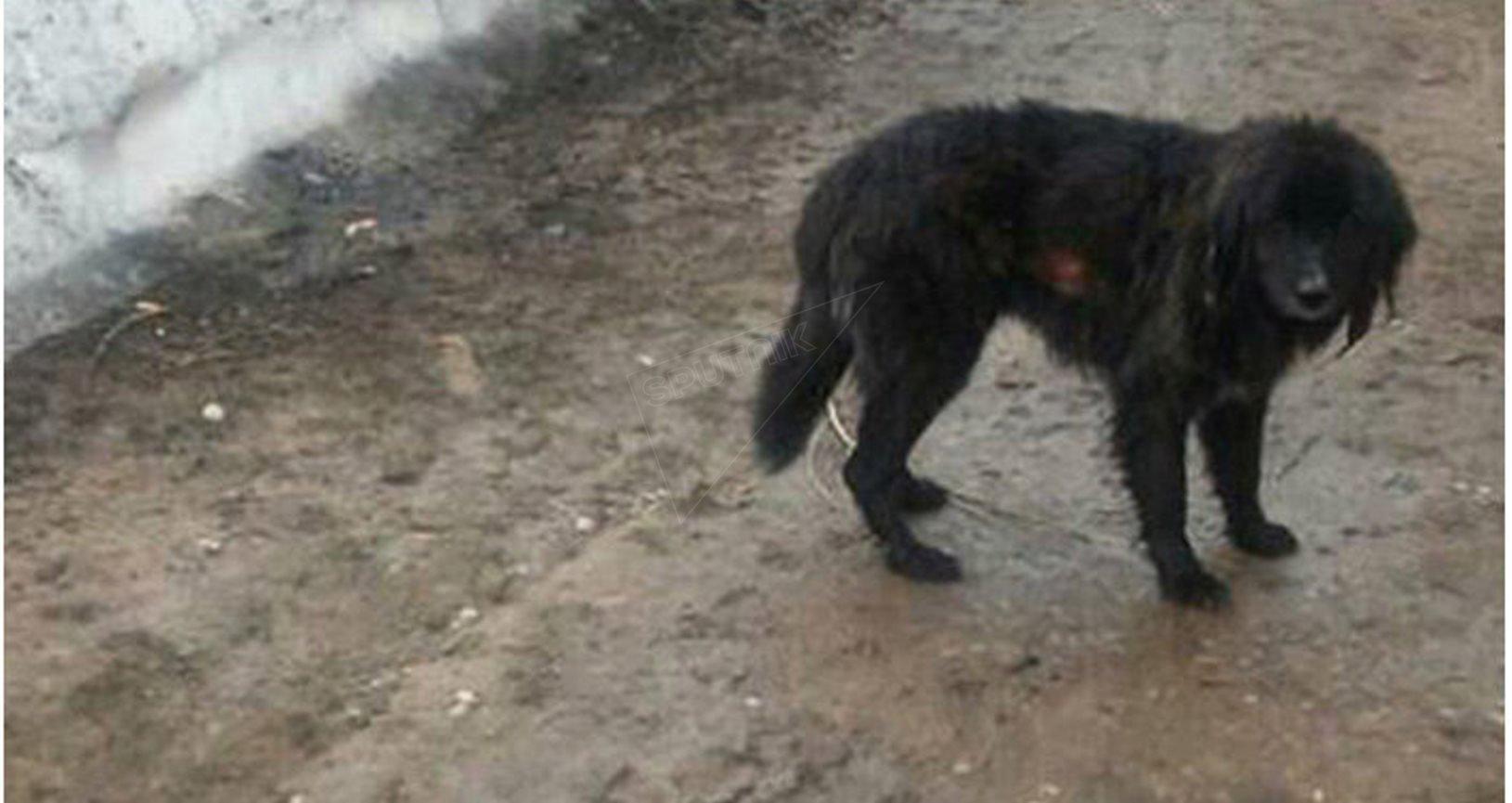 Au Kirghizistan, un chien survit après avoir passé 44 jours sous une avalanche