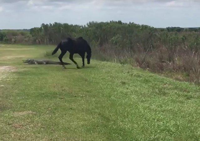Un combat plutôt insolite entre un cheval et un alligator
