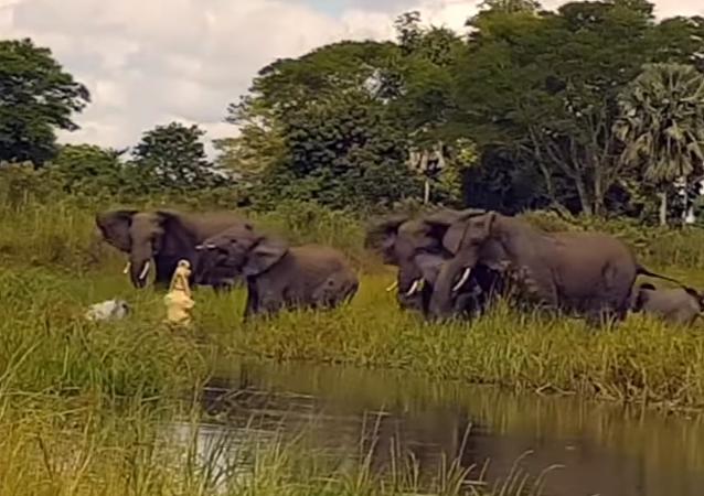 Un bébé élephant attaqué par un crocodile au Malawi