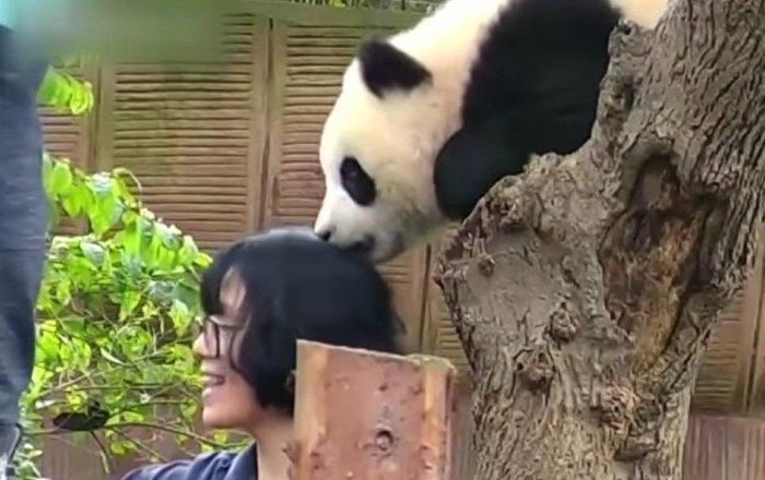 Dans un zoo chinois, un bébé panda croque un des visiteurs
