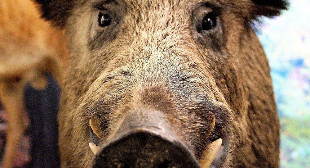 Invasion de sangliers des animaux sauvages attaquent une - Comment cuisiner une cuisse de sanglier ...