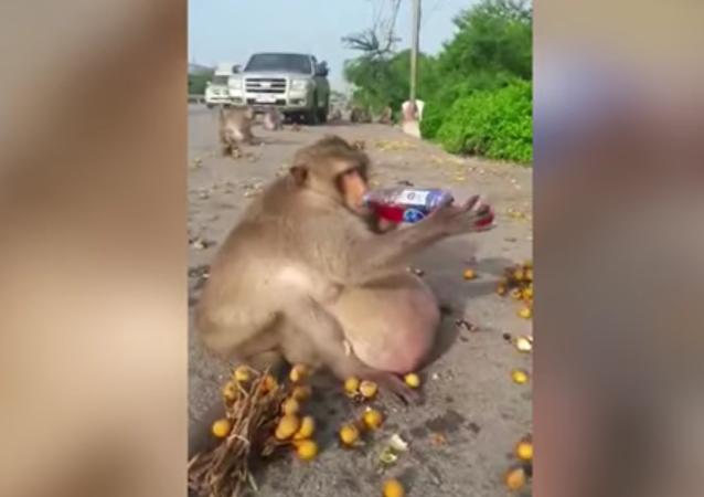 Ce singe a été envoyé dans un centre pour obèses!