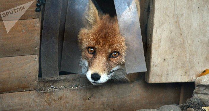 Les animaux sauvages sont-ils tous apprivoisables? La réponse des chercheurs russes