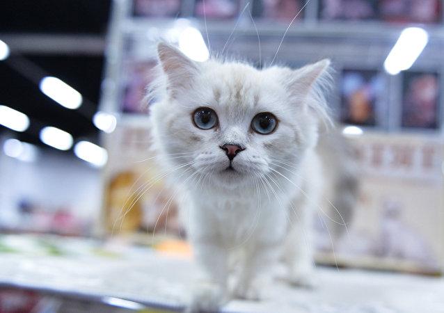 Un chat fan de croissants devient une star sur Instagram (vidéo)