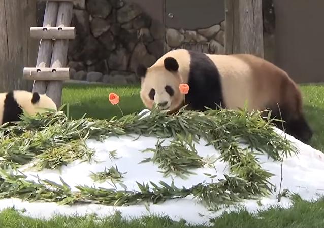Rau Hin, une femelle panda qui habite dans le parc Adventure World à Shirahama
