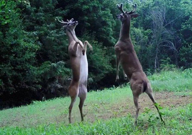 C'est ma clairière! Voici comment les cerfs de Virginie se battent pour manger