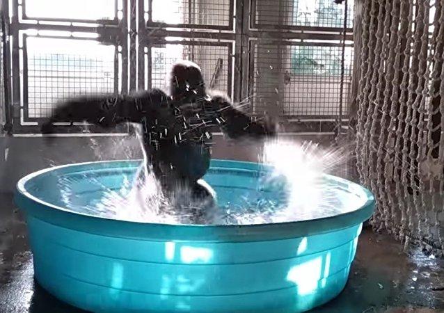 Pouvez-vous danser comme ça? Voici comment un gorille donne une leçon de breakdance!