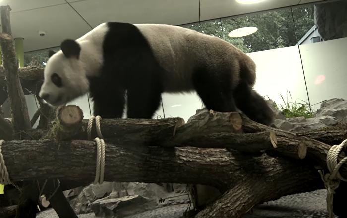 Deux pandas chinois retrouvent leur maison au zoo de Berlin