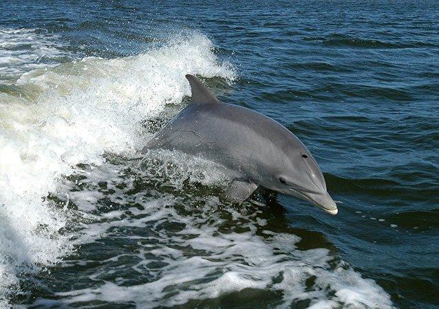 Le Mexique déploie des dauphins militaires US pour sauver des marsouins de l'extinction