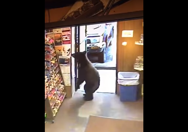 Un ours dans un magasin