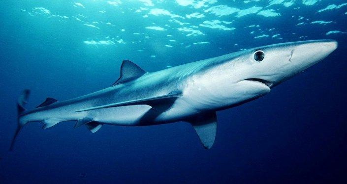 un requin bleu