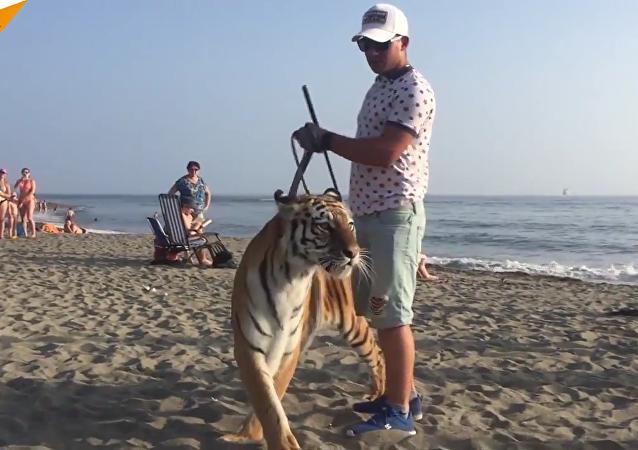 Pendant ce temps là en Russie... un grand tigre de Sibérie se promène sur une plage