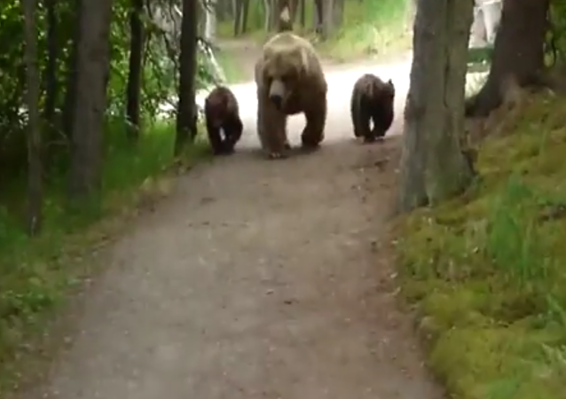 Je t'ai à l'œil: trois plantigrades suivent tranquillement un homme en Alaska