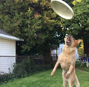 Frisbee Fail! Ambitious Dog Misses Disc by the Skin of His Teeth
