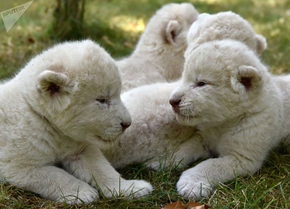 Des lionceaux blancs sont nés dans le parc safari en Crimée