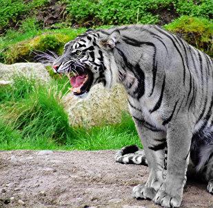 Le tigre maltais